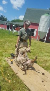 Emma about to be sheared